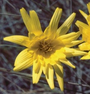 The Yam Daisy flowers from spring to autumn and has edible root tubers.