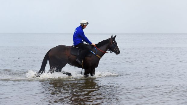 Life's a beach: Winx wades through the shallows at the beach on Sunday morning after winning her 16th consecutive race ...