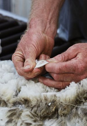 Experimenting: Coventry and Zegna are working to improve the wool quality.