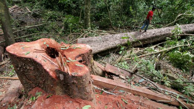 A villager walks on a freshly-cut tree at an unregistered logging site in Aceh Besar, Indonesia.
