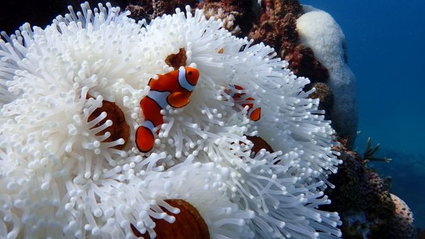 Corals aren't the only organisms on the reef that suffer from bleaching – this anemone on Farquharson Reef, east of ...