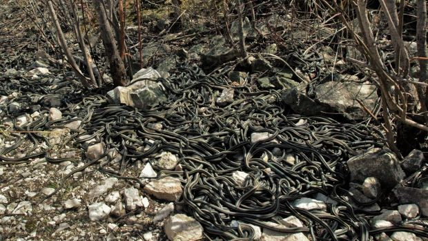 Thousands of red-sided garter snakes gather in a huge mating aggregation each spring in Manitoba, Canada. The males do ...