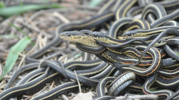 A female red-sided garter snake is surrounded by multiple males trying to mate with her in a huge mating aggregation in ...