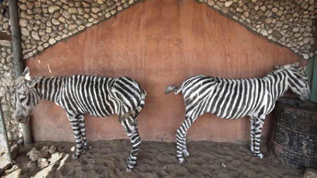 "The ""Gaza-made zebras"" have become symbols of life under the Israeli blockade."