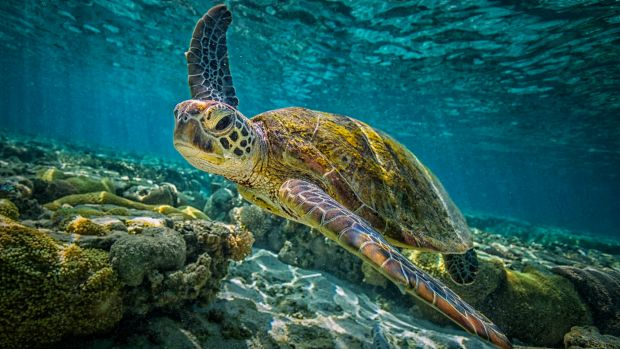 Green turtles have a problem if all offspring turn female, as is already nearly the case at one study site in the ...