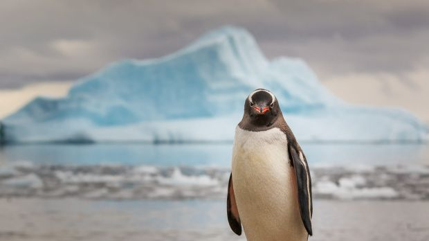 Examination of penguin excrement has helped scientists trace the rise and fall of gentoo penguins.