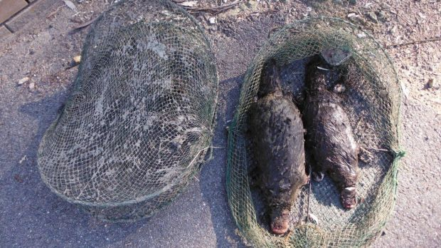 Two platypuses killed in an illegal opera house style trap at Point Hut Pond in 2015.