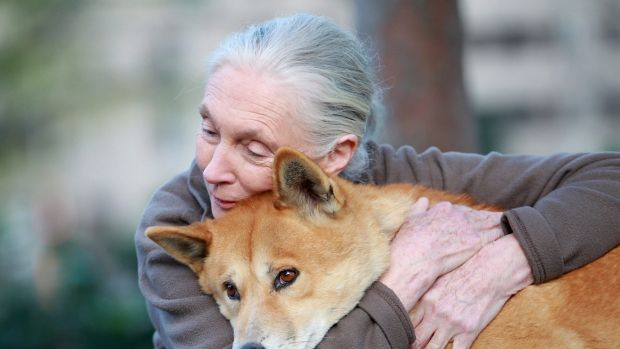 Jane Goodall meets a dingo at the Melbourne Museum in 2014.