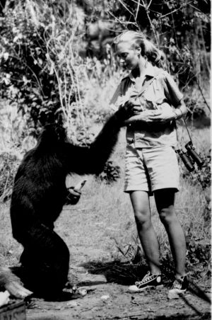 Jane Goodall hands out bananas to a friendly chimpanzee in then Tanganyika in 1964.