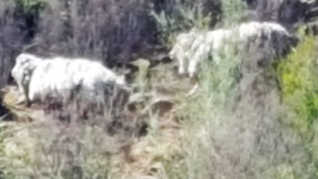 Jeff Carrick and his mate Nick Tonkin spied the sheep while fishing near Casuarina Sands.