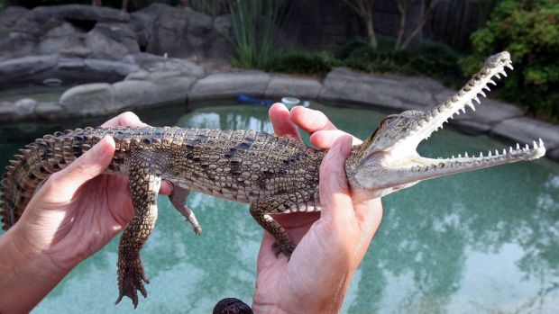 A file picture of a freshwater crocodile similar to that found by Aaron Hughes in Peakhurst.
