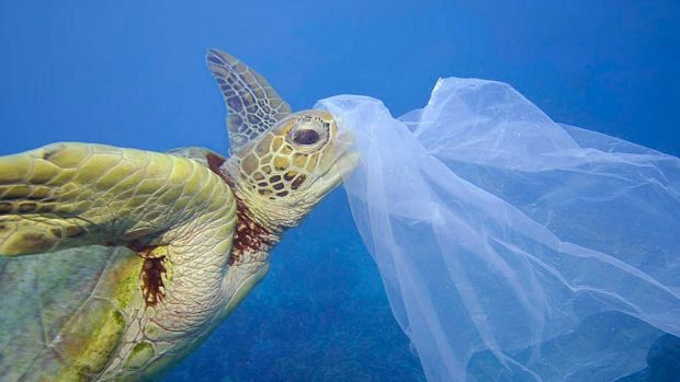 Marine life under threat: A sea turtle with a plastic bag on its nose.