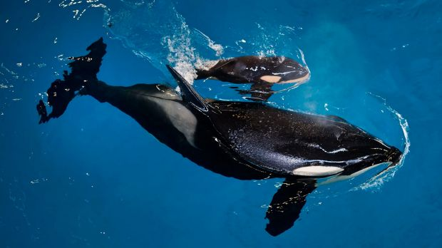Takara helps guide her newborn to the water's surface at SeaWorld San Antonio on Wednesday.