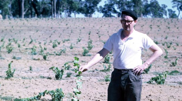 Tom Cullity with the first Vasse Felix vines in late 1960s.