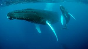 A study has found humpback whales learn songs verse by verse, like humans.