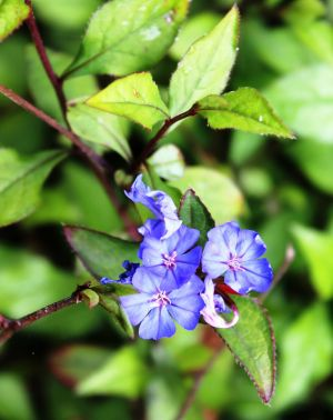 The pretty blue flowers of Ceratostigma plumbaginoides were found by Robert Fortune growing on the city wall of Shanghai ...