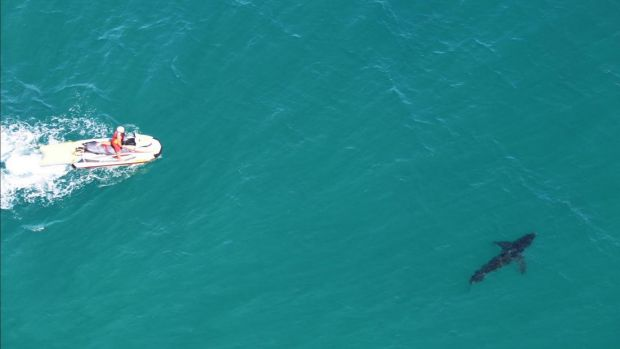 Jet-skis herding a white shark out to sea off Cape Byron in 2016.