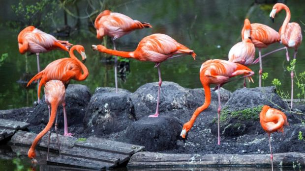 How flamingos can sleep while standing on one leg