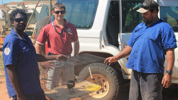 Bardi Jawi rangers Kevin Dougal (left) and Phillip McCarthy (right) hand over the pigeon to the Department of ...