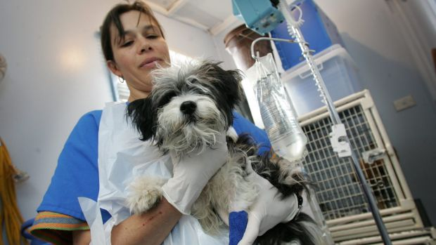 A dog recovering from canine parvovirus.