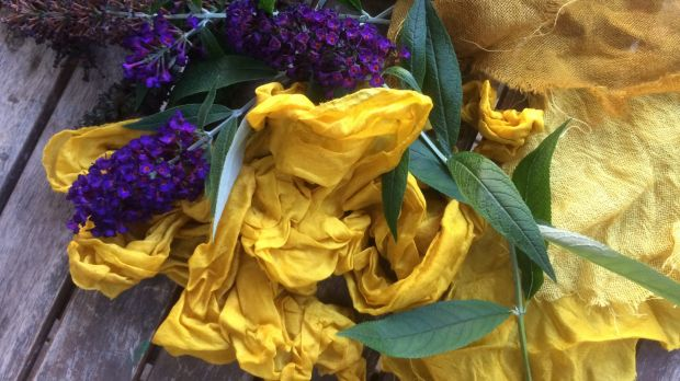 Buddleia's purple flowers produce a saffron-yellow dye when heated.