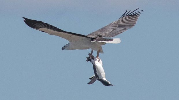 Penguin takes flight: John Prats thought the sea eagle had caught a salmon until he had a closer look. He agreed to his ...