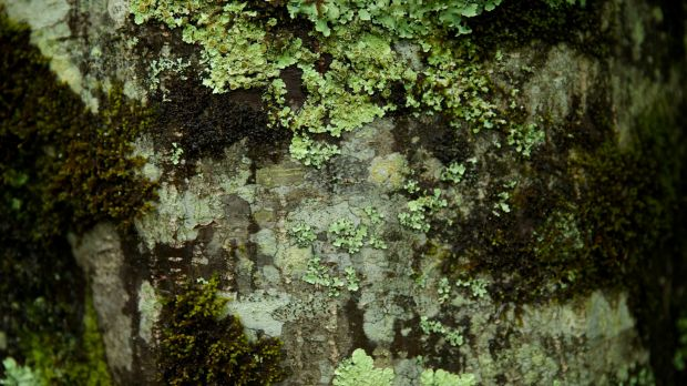 Lichen and moss grow on the trunks of chestnut trees at Nutwood Farm at Mount Irvine.