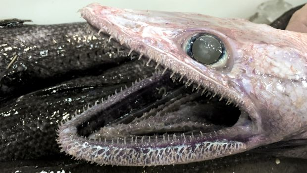 A deepsea lizardfish grows to almost 70 centimetres long.