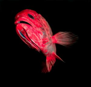 Orange roughy fish are found up to 2.5 kilometers below the surface.