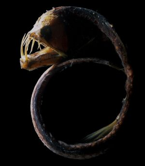 Sloane's viperfish holds the world record for largest teeth relative to head size in a fish.
