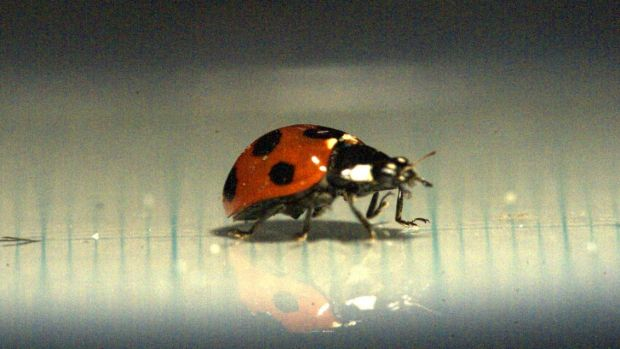 The wings of a ladybird could revolutionise the design of umbrellas.