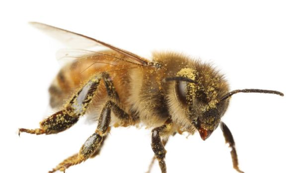 Researchers found that a bee could shed about 15,000 pollen grains in two minutes as it brushed itself clean.