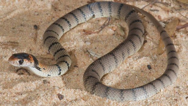 Baby eastern brown snakes target lizards, while adults target mammals.