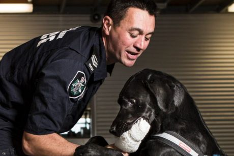 Airport currency and detection dog, Albie, 2, with AFP national canine Senior Constable Craig Manning. Albie getting ...