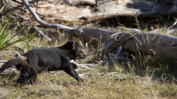 A Tasmanian devil being released into the wild in 2015.