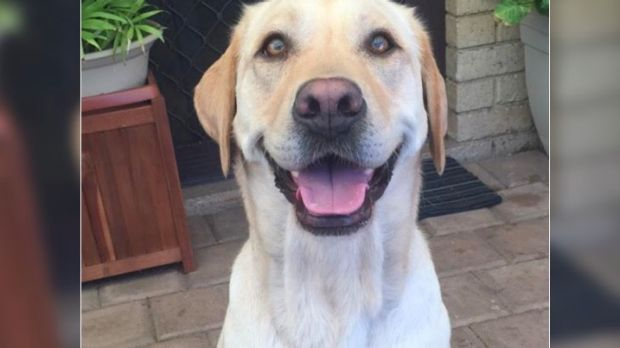 Luna, the Labrador who was allegedly attacked in Mirrabooka.