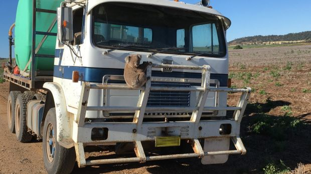 Hanging on: The lost koala near Gunnedah late last year.