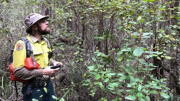 National Parks and Wildlife Service Dean Ansell with the Genoa River Correa - one of four rare plants rediscovered in an ...