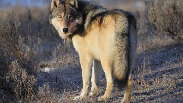 A grey wolf in  Yellowstone National Park, in the US.