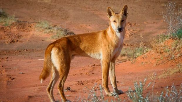 Native animals such as the bilby have co-existed with dingoes for 4500 years, yet are threatened by introduced species ...