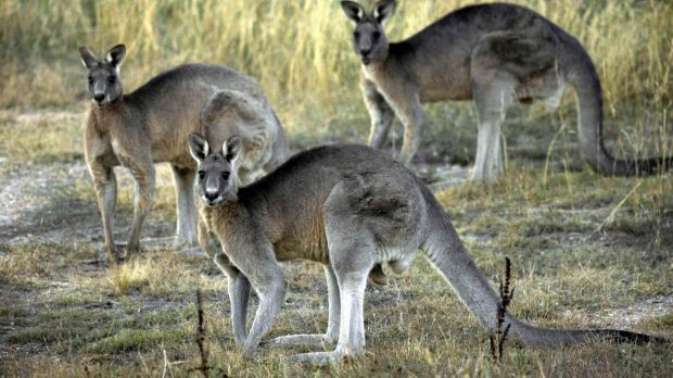 The ACT government says Canberra's grasslands are threatened by growing eastern grey kangaroo populations.