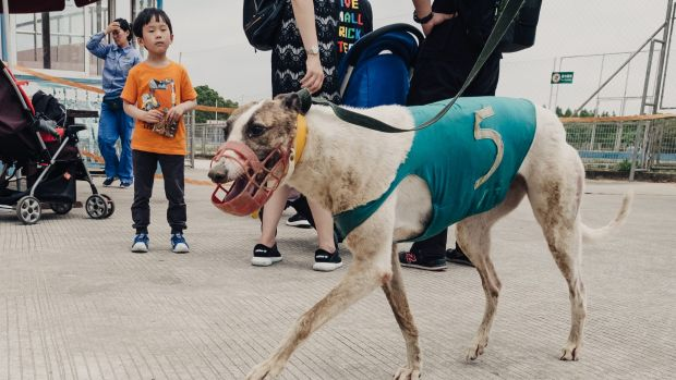 A long way from home: An Australian greyhound is led to the track in Shanghai zoo.