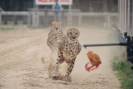 """The Shanghai Wild Animal Park promotes a """"one-hundred-metre race show between African Cheetah and Australian greyhound""""."""