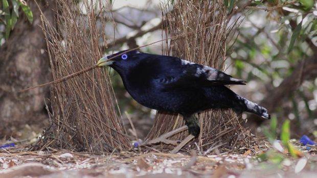 A male bower bird in full glory.
