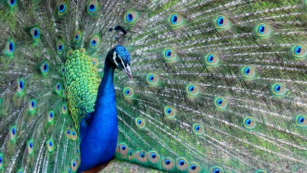A beautiful male peacock.
