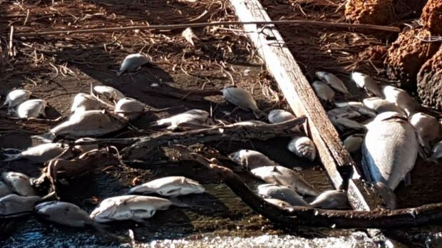 Dead bream and mulloway on the banks of the Murray River on North Yunderup on Sunday.