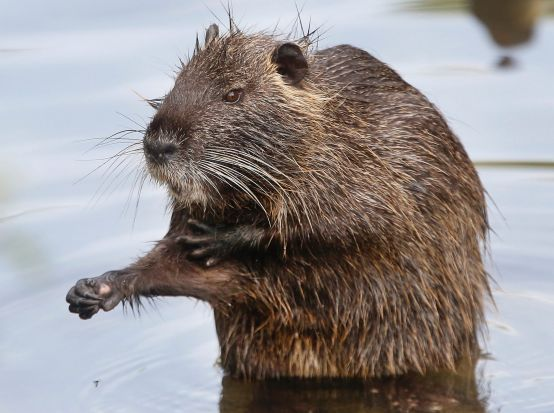 A Nutria, or river rat, sits on a stone in a small river in Frankfurt, Germany.