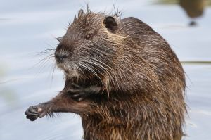 A Nutria, or river rat, sits on a stone in a small river in Frankfurt, Germany, Wednesday, May 31, 2017.(AP ...