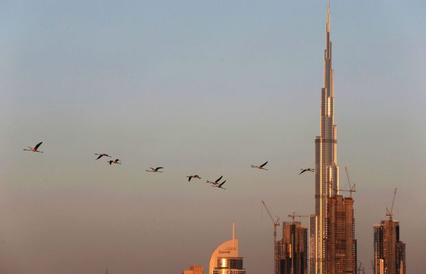 Migrating flamingoes fly past the world's tallest building, the Burj Khalifa, in Dubai.