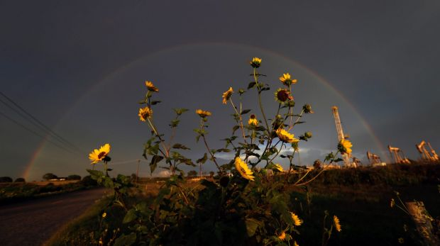 A rainbow appears over sunflowers in an oil field after a thunderstorm passed the area,in Karnes City, Texas.